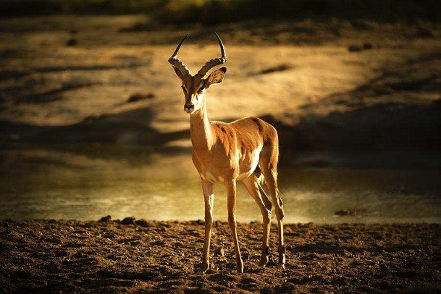 Impala en Tanzania