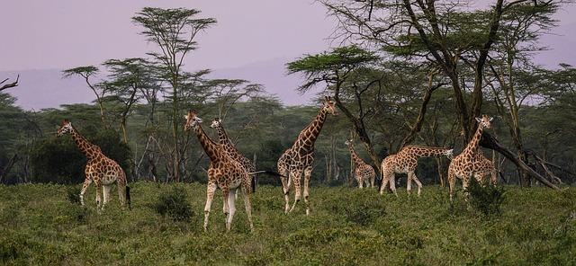 Jirafas en Serengeti