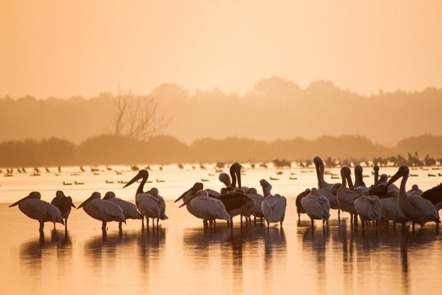 Pelicano blanco en Tanzania o Kenia