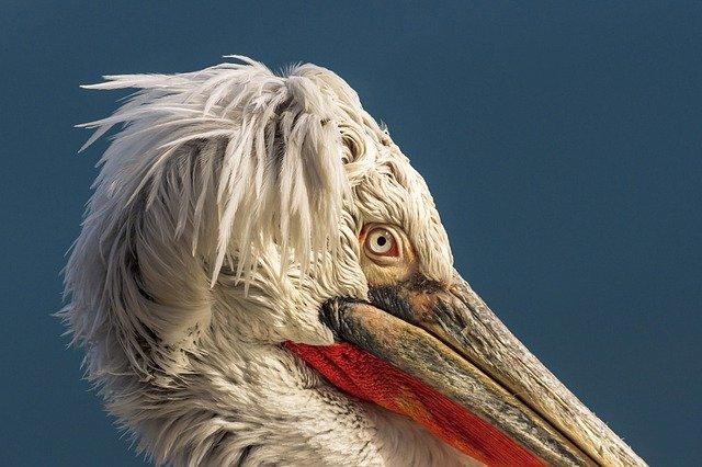 Pelicano blanco retrato